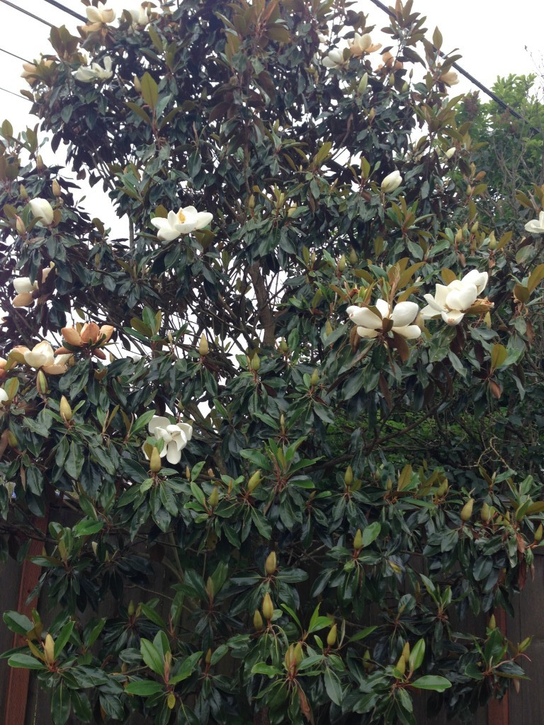 Magnolia grandiflora 'Edith Bogue' ? A smaller one, at any rate.