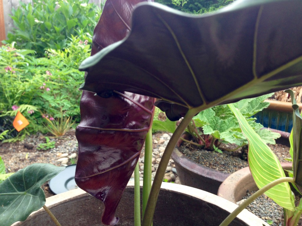 Colocasia -- look at the backside. To die for!