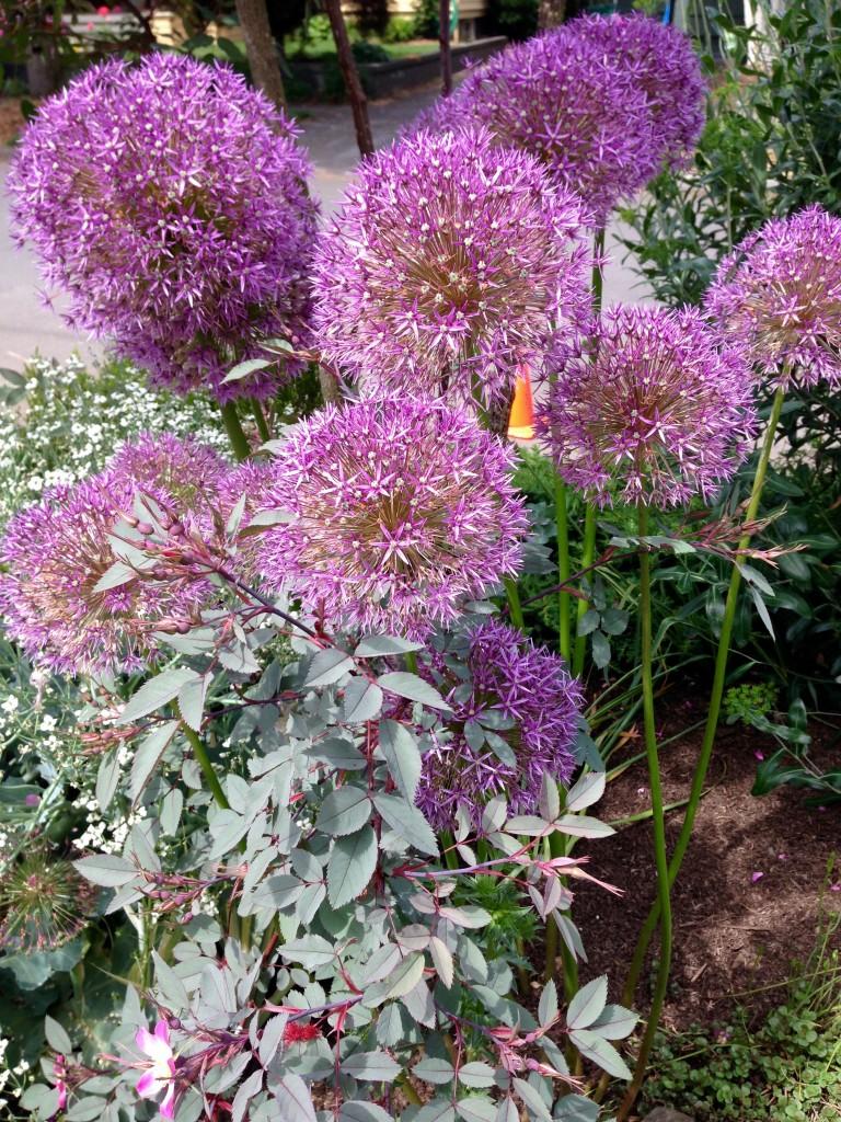 Allium christophii (?) maybe.