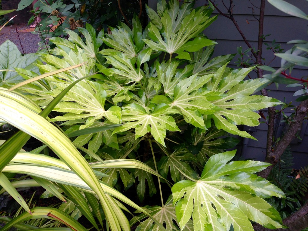 Fatsia japonica 'Camouflage' (?)