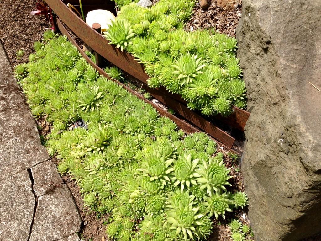 Mass planted sempervivum around woven metal: perfect.