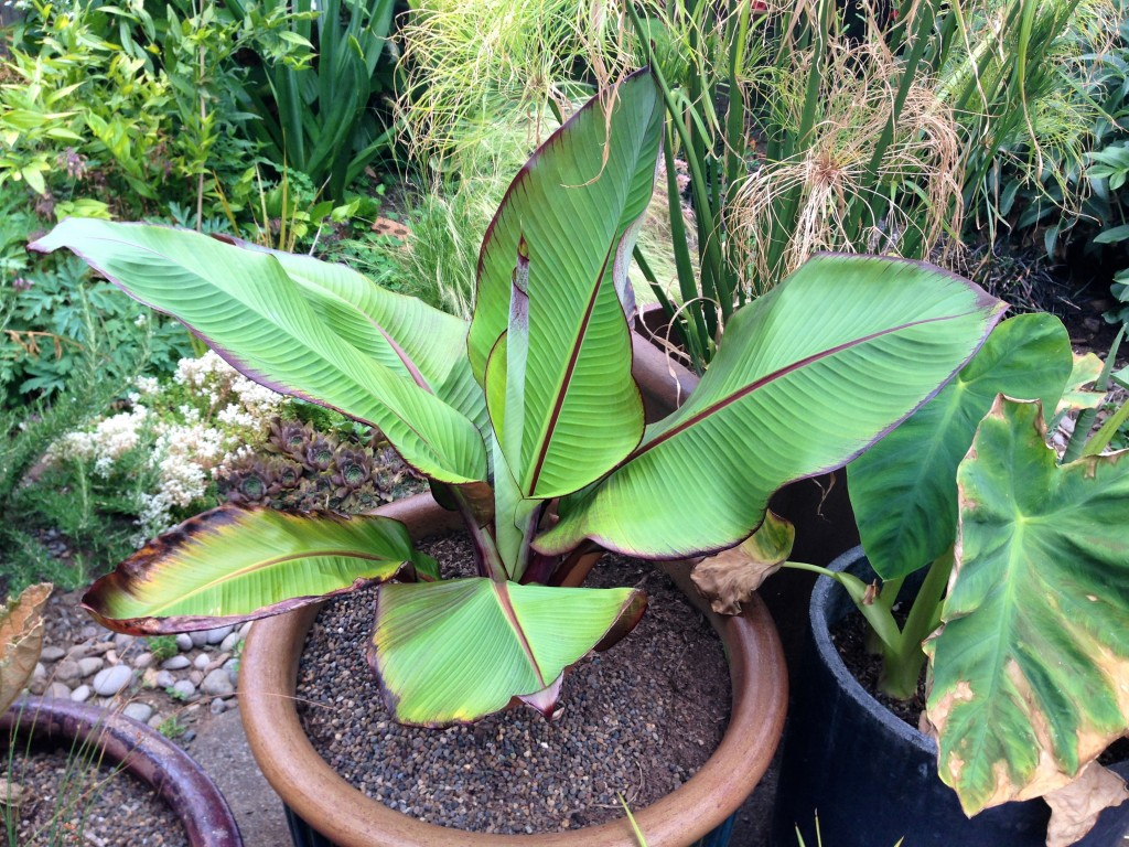 Ensete ventricosum 'Maurelii', maybe the pot is stunting its growth.