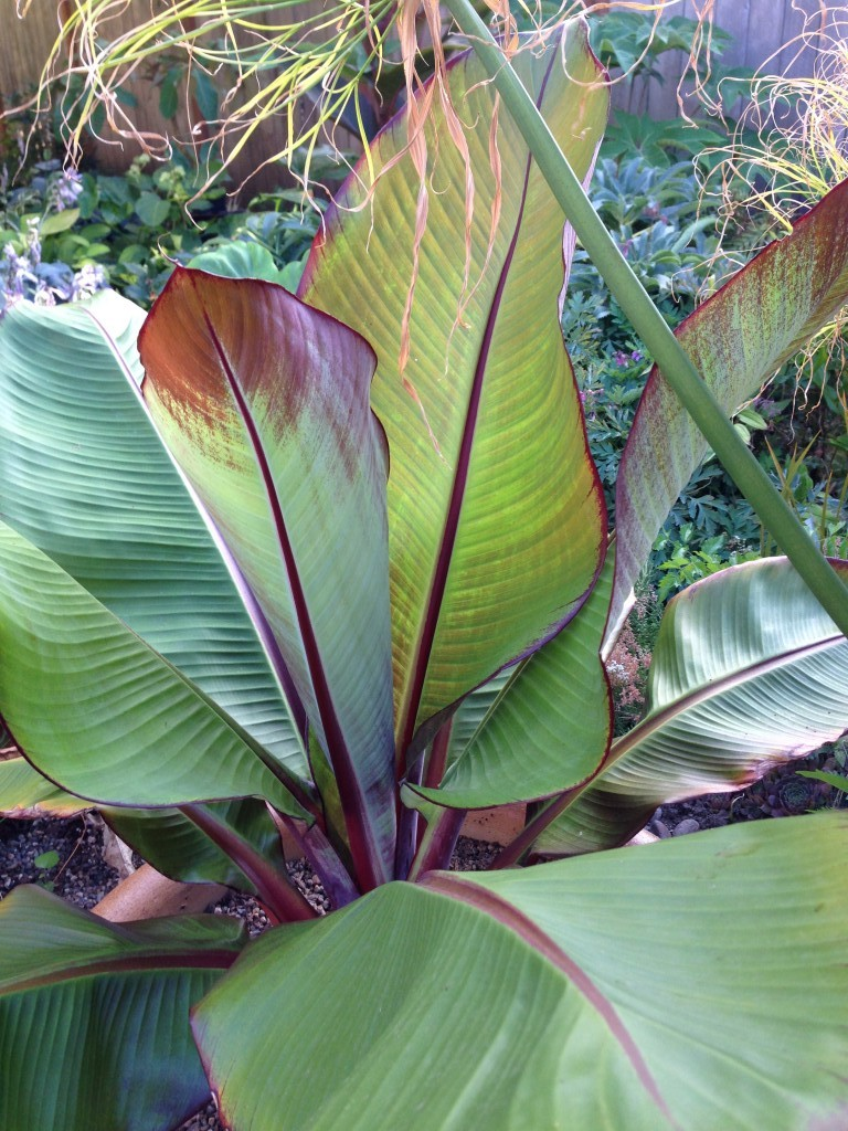 Red banana, dutifully overwintered--by pulling from the dirt & throwing in a bag in the basement. Next year, it's going in the ground.