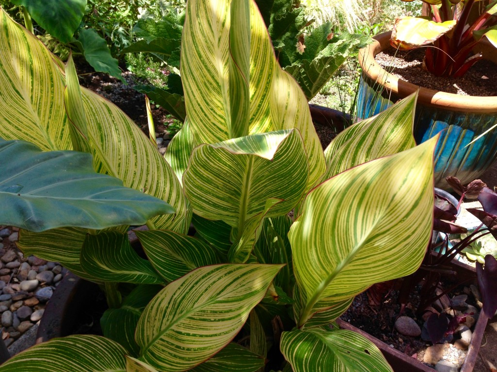 """Canna 'Pretoria' in a pot, about 18"""" tall, and no blooms."""