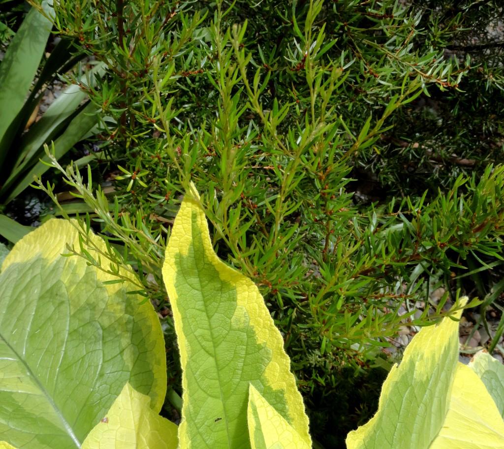 Grevillea australis and Symphytum x uplandicum 'Axminster Gold'