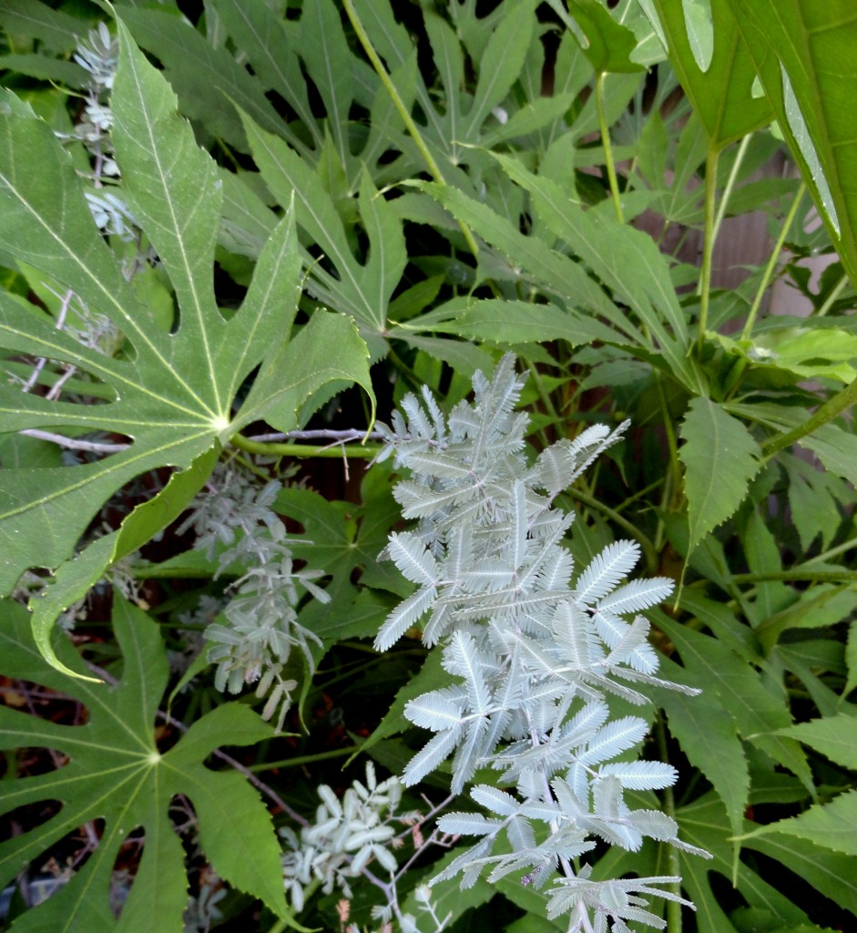 Fatsia polycarpa 'Needham's Lace' and Acacia baileyana 'Purpurea' 2
