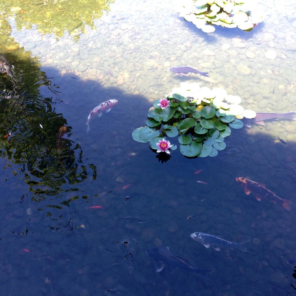 Koi having a swim about.