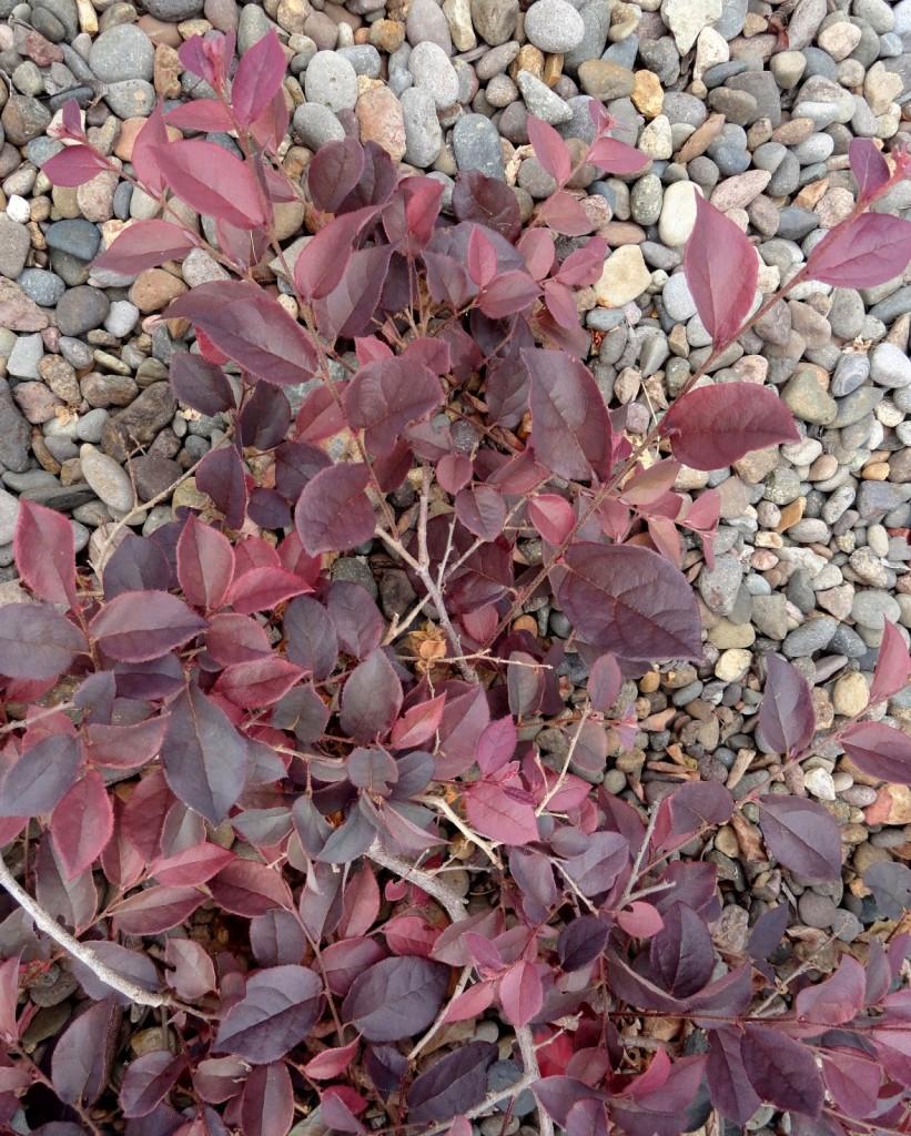 Loropetalum chinense var. rubrum 'Hindwarf' color