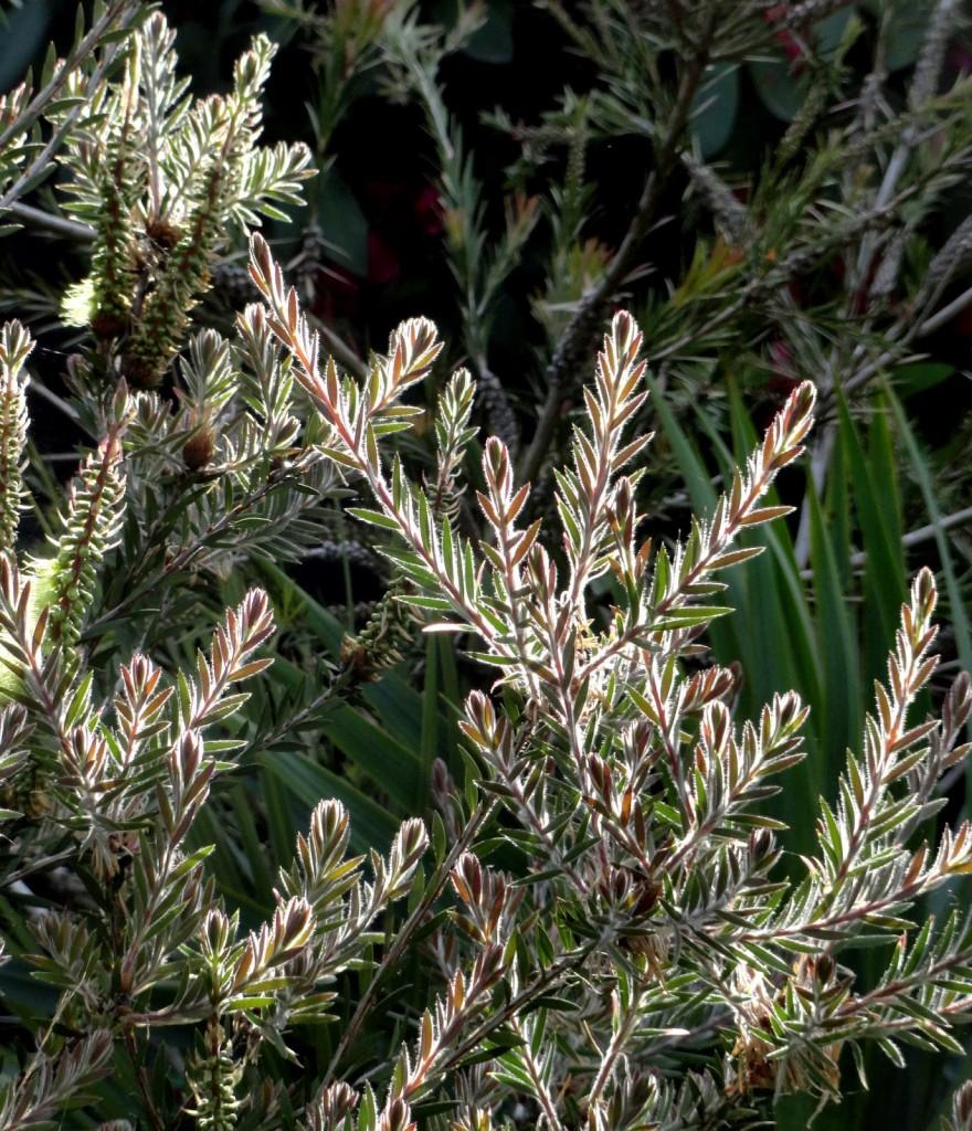 1 Callistemon viridiflorus foliage glow