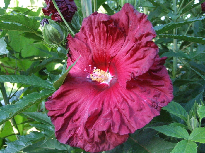 Hibiscus moschuetos 'Torchy' by Dancing Oaks