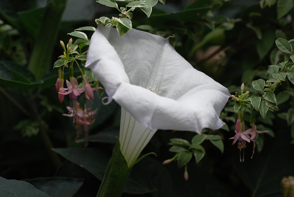 Datura meteloides by Annies Annuals