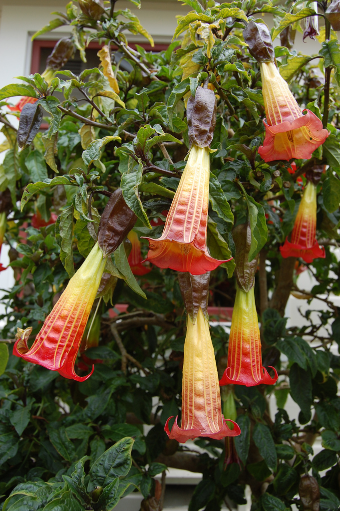 Brugmansia sanguinea by Far Out Flora