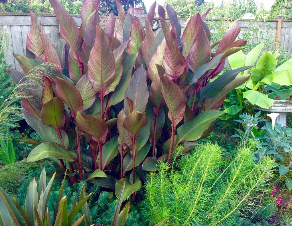 Canna musafolia 'Rubra'
