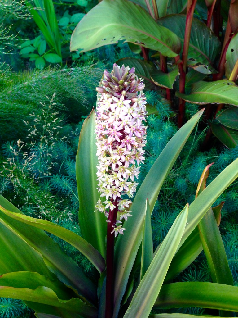 Eucomis 'Sparkling Burgundy' with Euphorbia 'Fen's Ruby' at its feet.