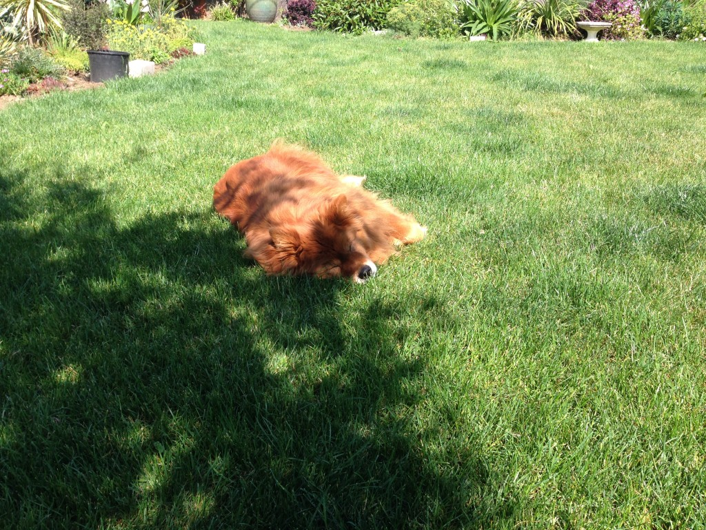 Pumpkin loves lawn, which gives me pause.