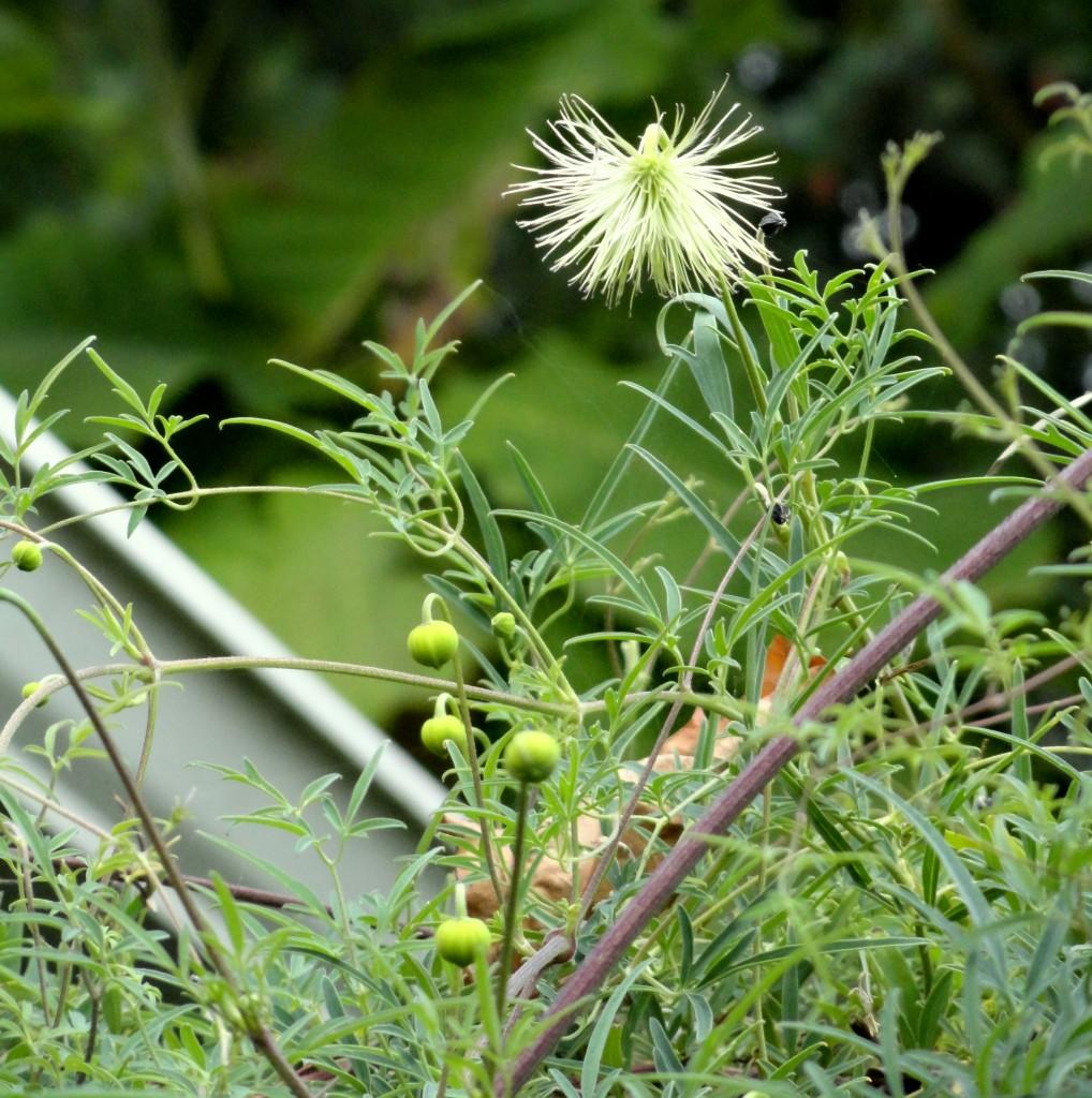Clematis tibetana var. vernayi seed head