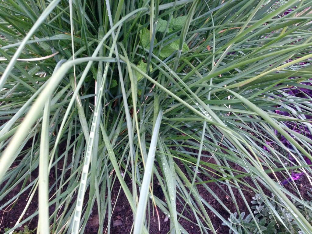 Pennisetum macrourum aka African Feather Grass -- gift from Scott Weber