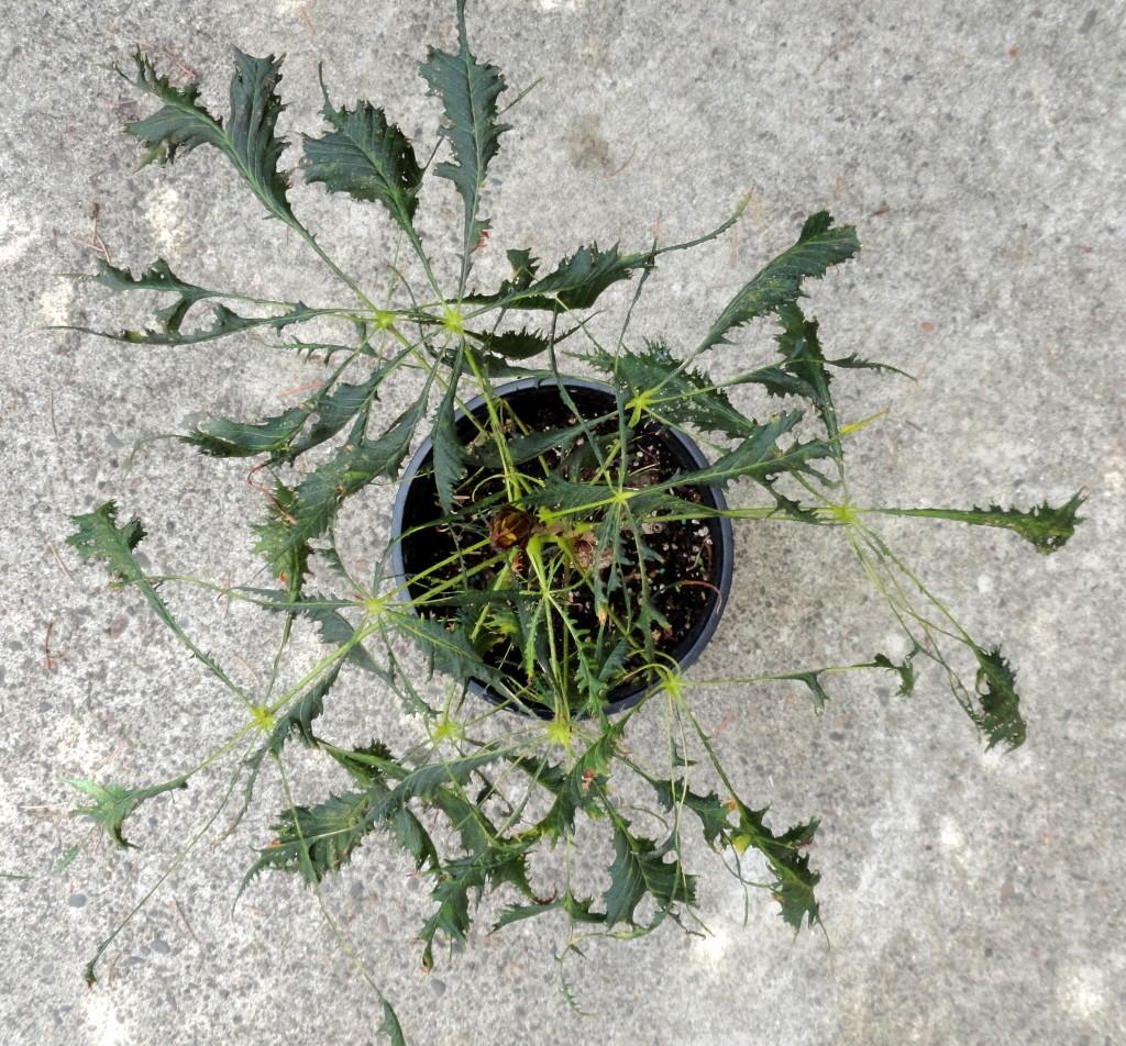 Aesculus hippocastanum 'Laciniata' 1