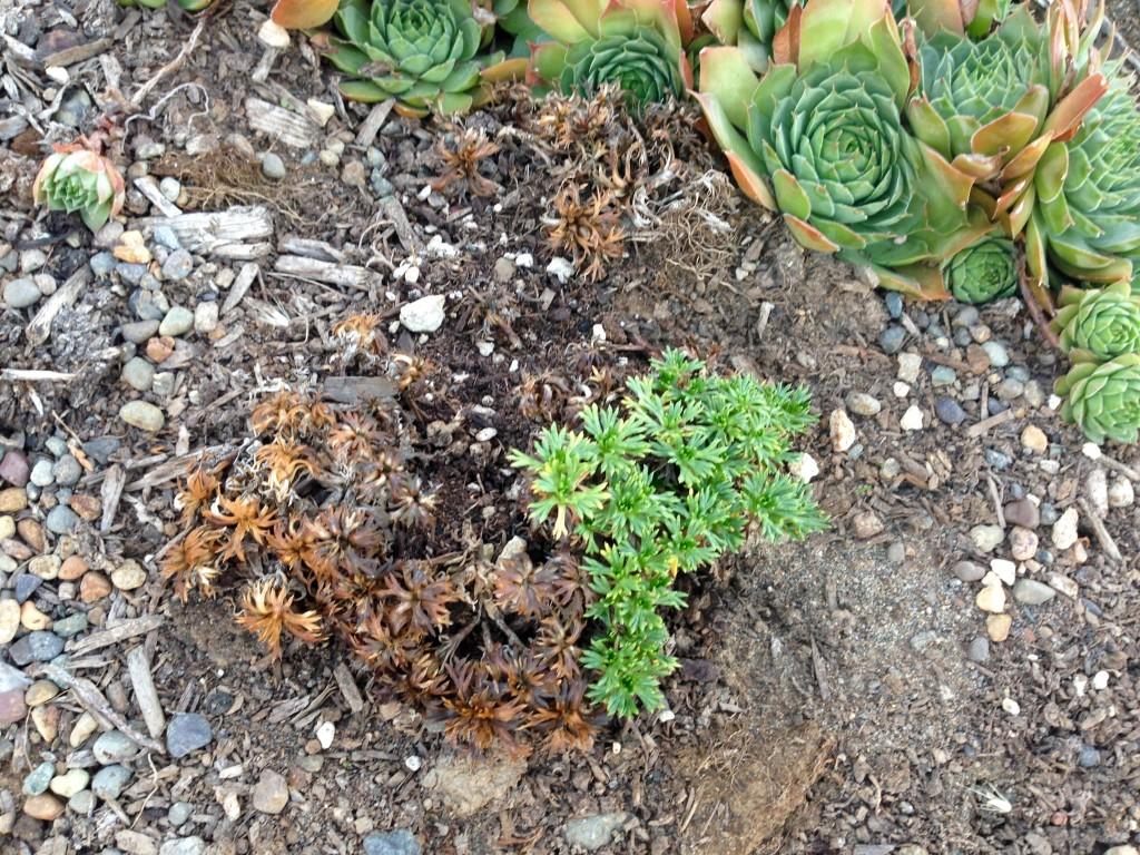 how to grow scleranthus uniflorus