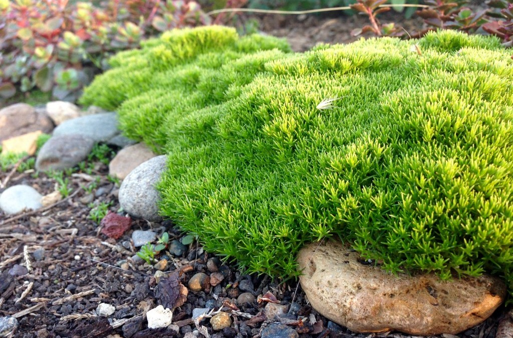 Scleranthus uniflorus: a groovy groundcover