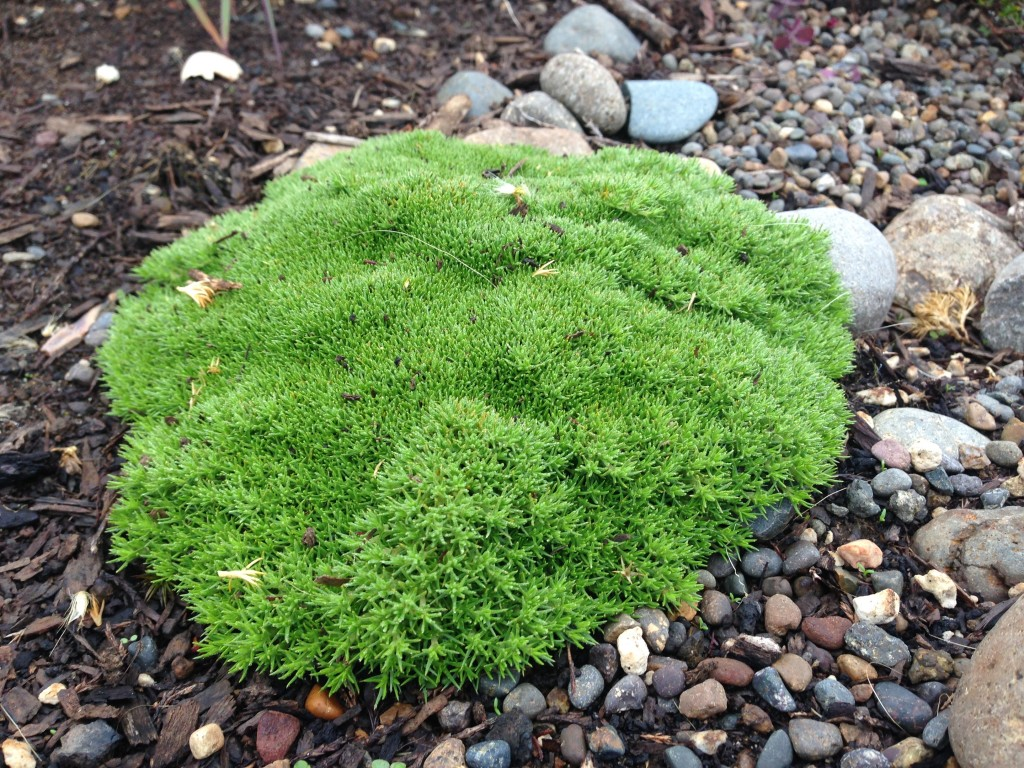 Scleranthus uniflorus aka Gnarled Cushion