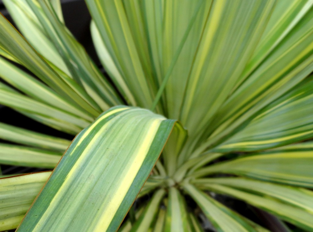 Yucca recurvifolia 'Margaritaville' close-up