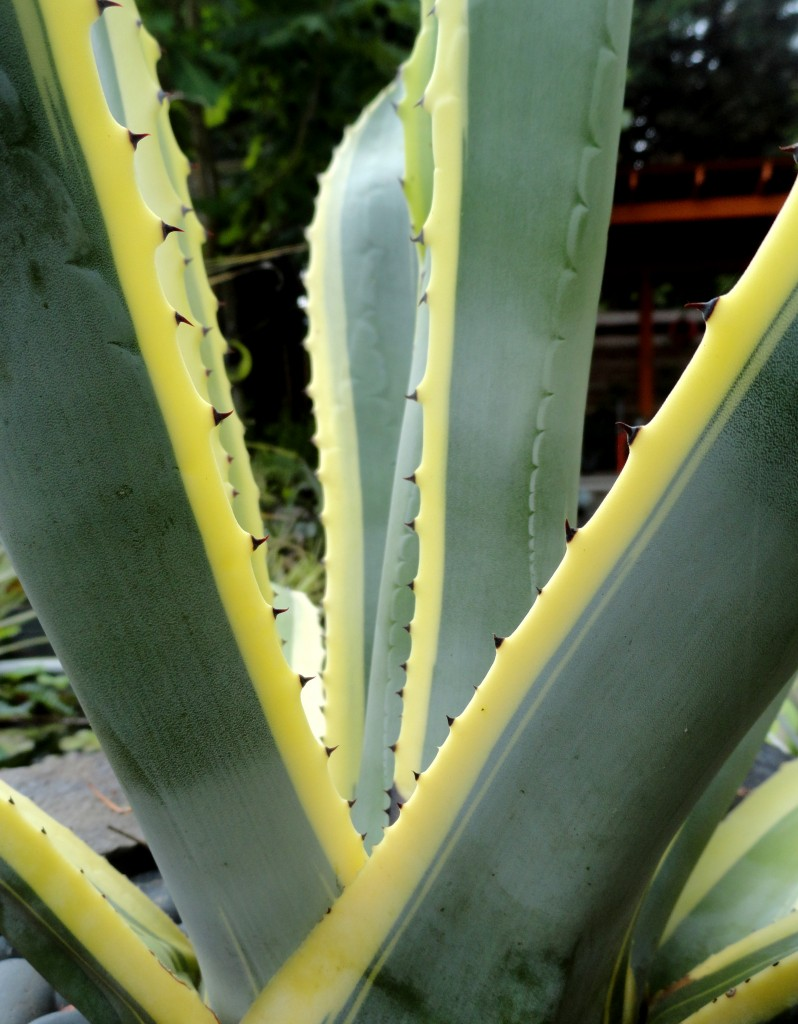 Agave americana 'Variegata' close-up