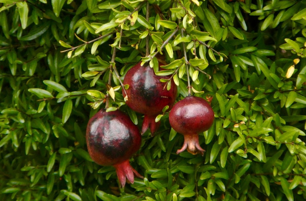 Punica granatum 'Eight Ball' ?