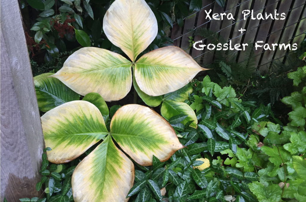 Xera Plants / Gossler Farms Nursery Report