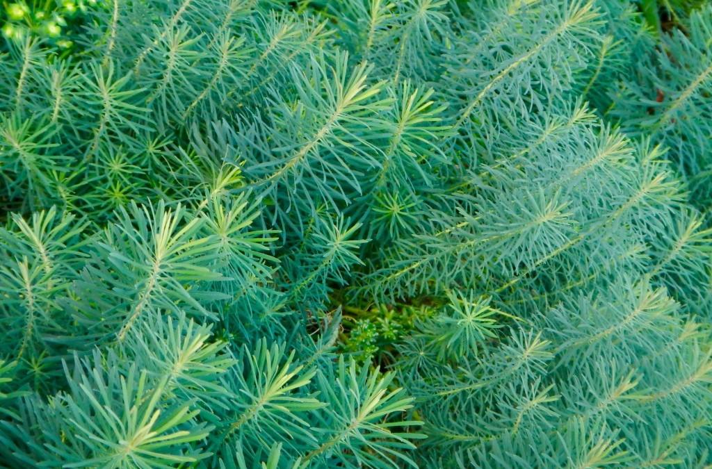 I do declare: Euphorbia cyparissias 'Fen's Ruby'