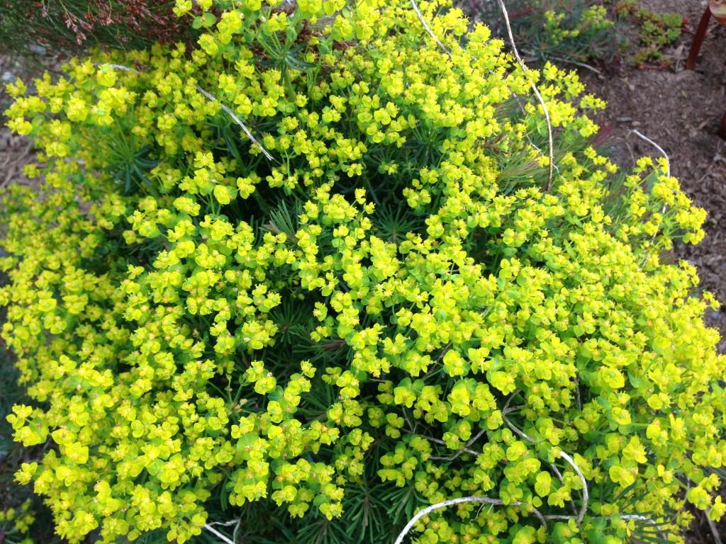 Euphorbia cyparissias 'Fen's Ruby' in bloom.