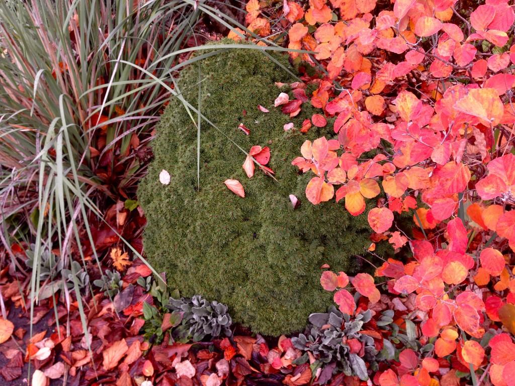 Schizachryium, conifer ?, and Fothergilla -- pretty sure.