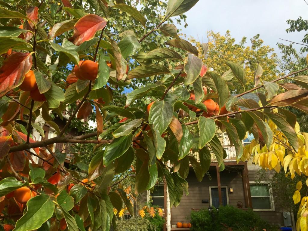 persimmon with pumpkin color echo