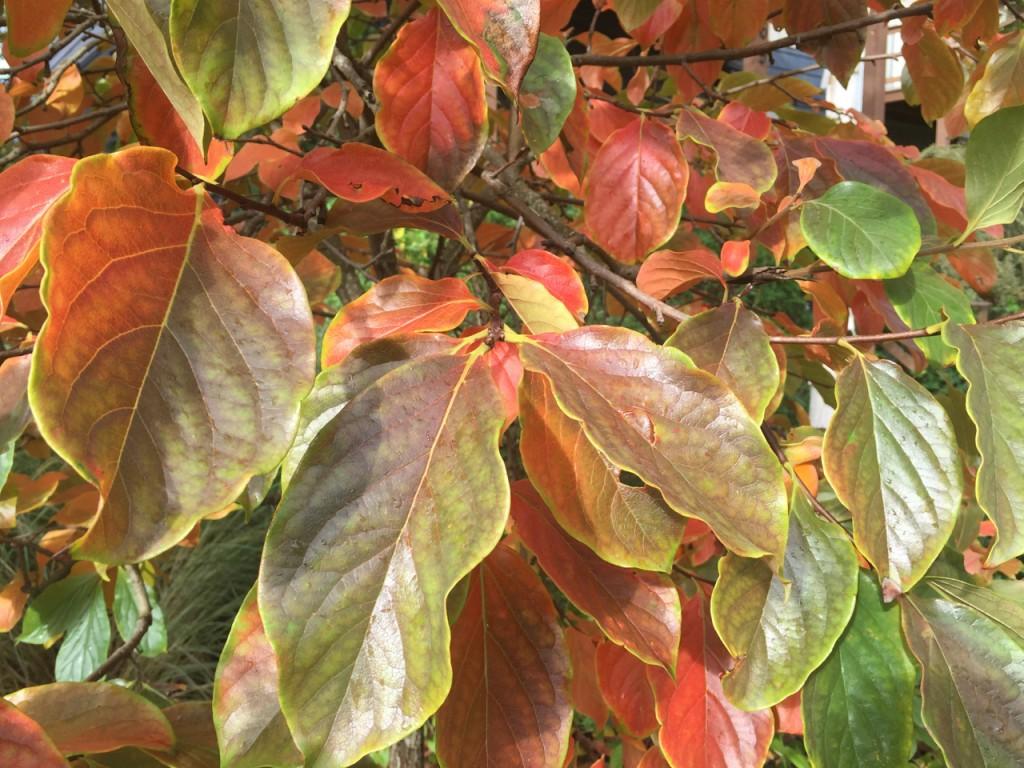 persimmon foliage