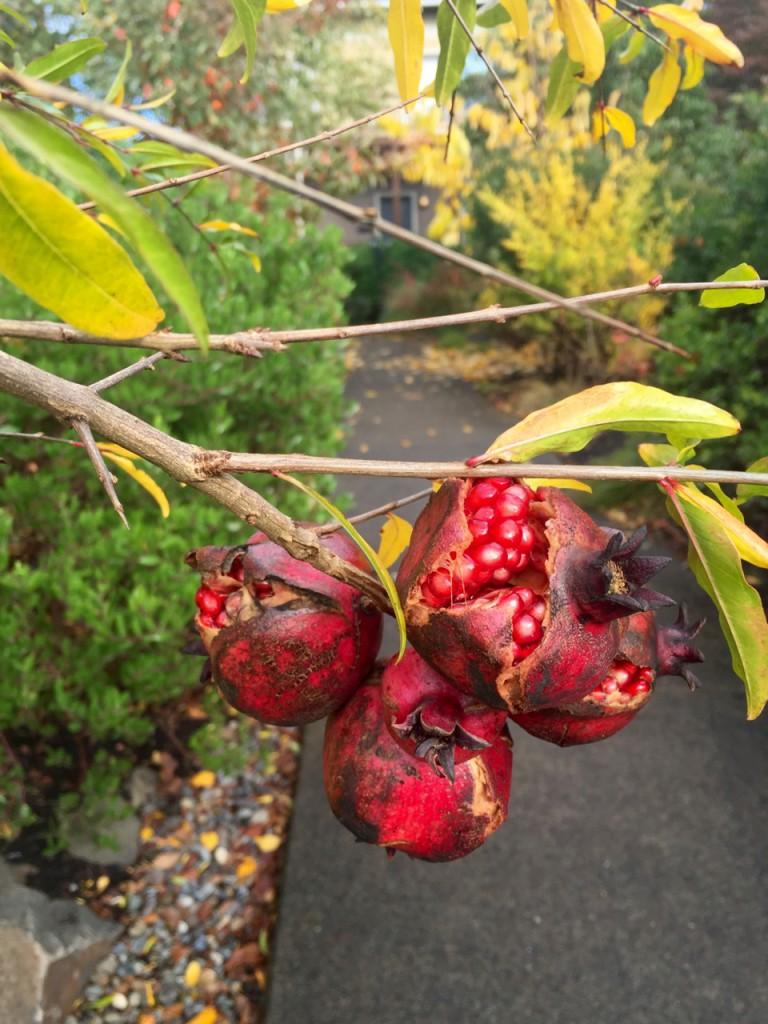 Pomegranate fruit opened