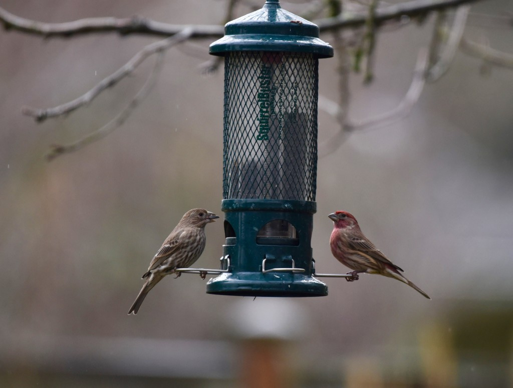 finches at the feeder - photo by Bill Wagenblatt