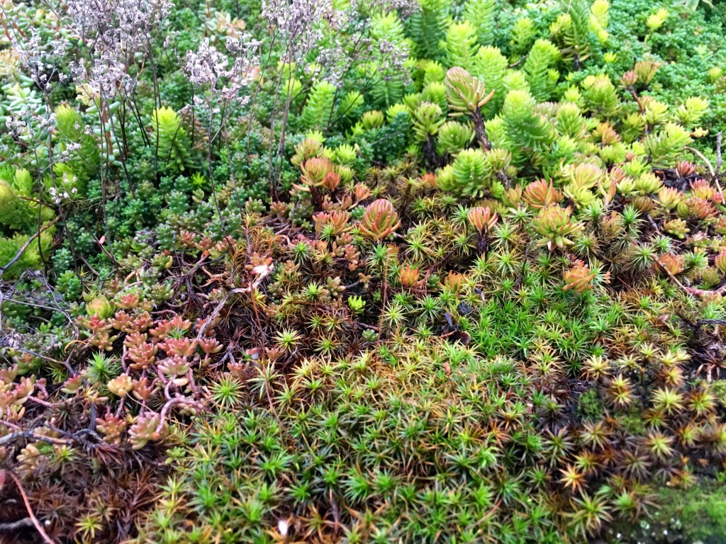 Sedum and maybe a moss in foreground? Nature put it there. I'm calling it a plant.