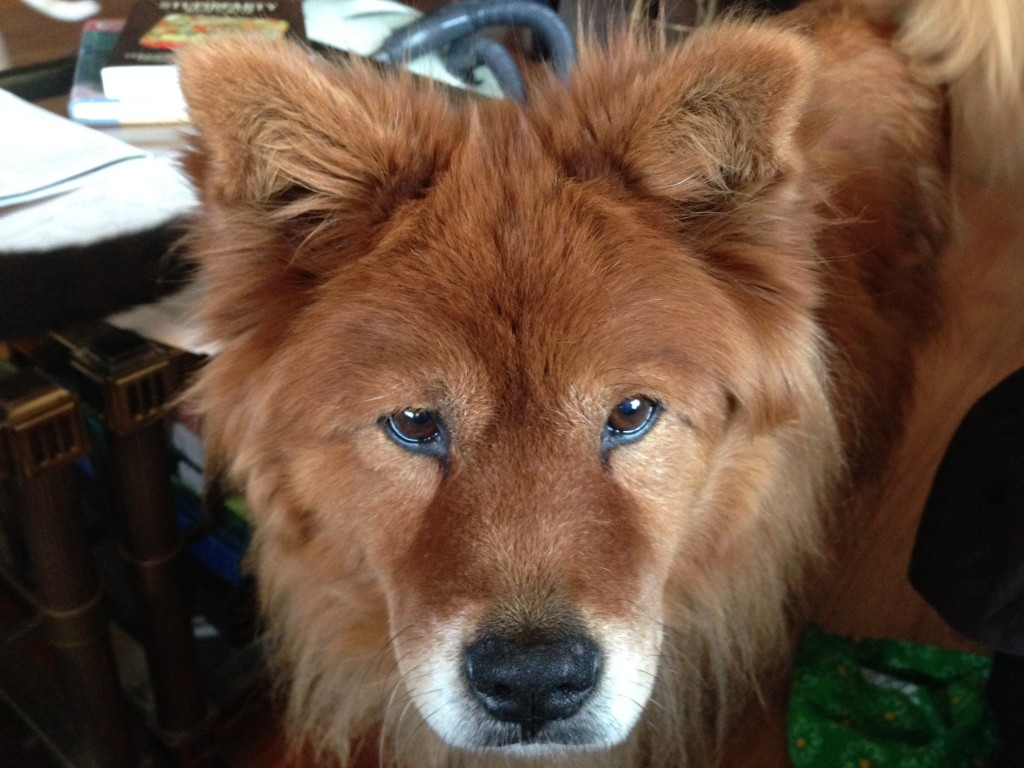 Chow Chow you-will-bend-to-my-will stare.