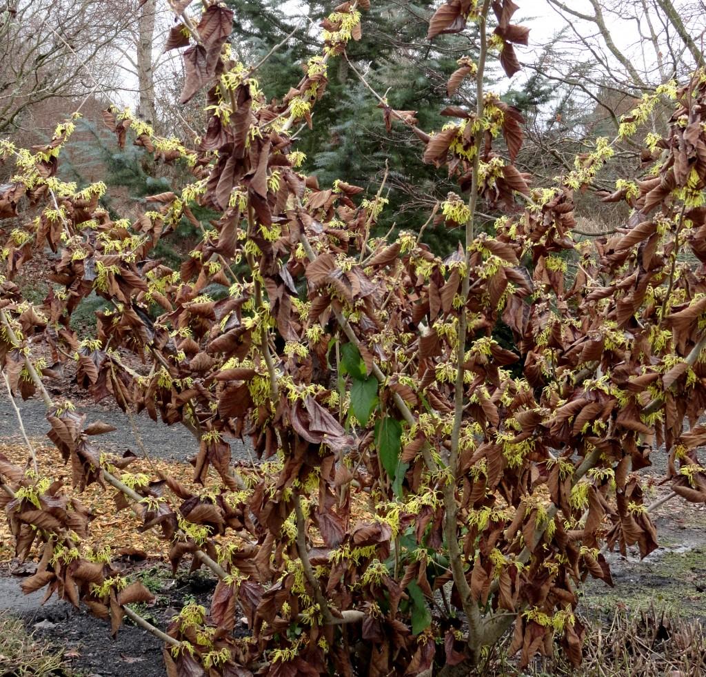 Hamamelis × intermedia 'Primavera' C