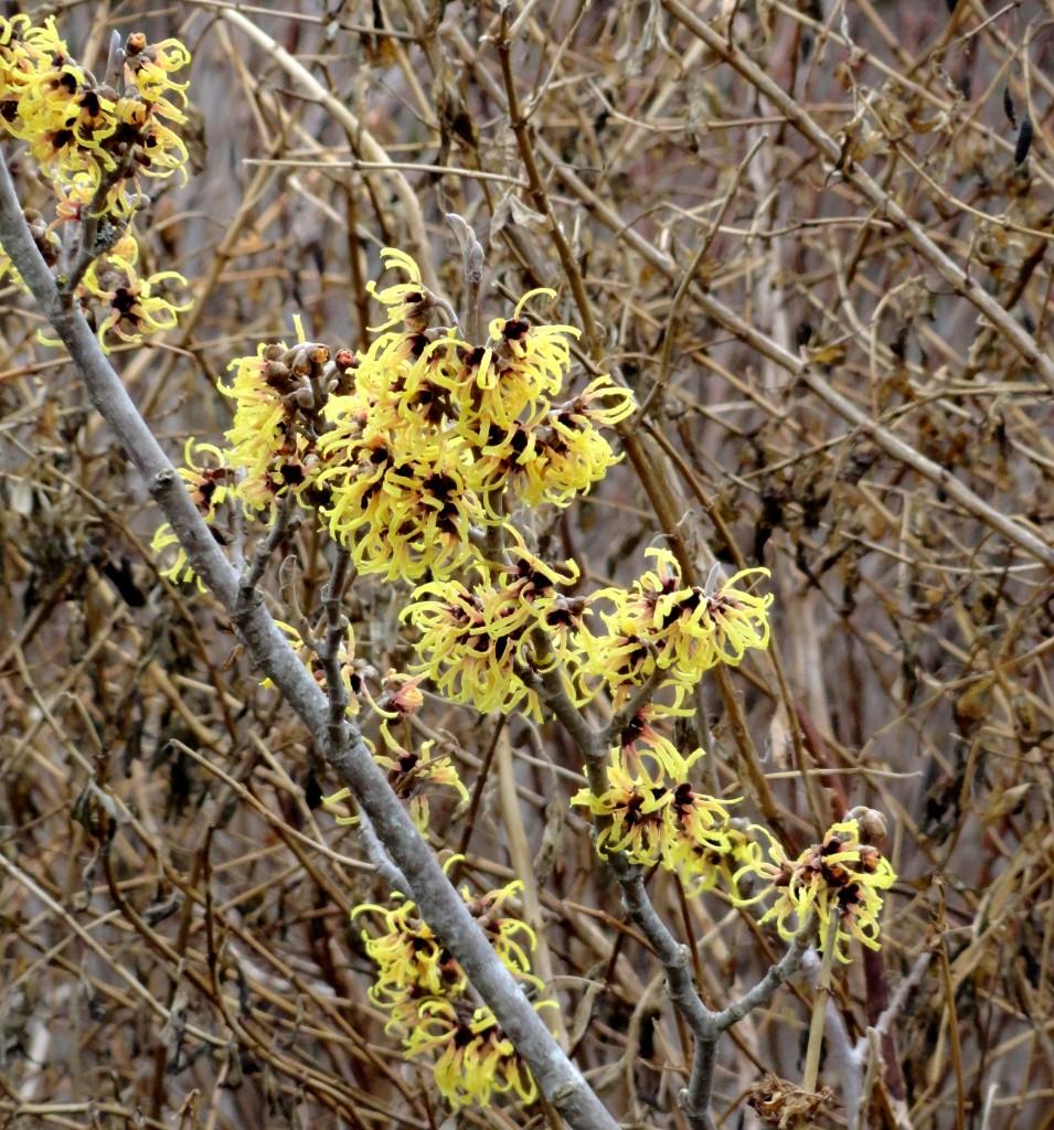 Hamamelis × intermedia 'Primavera' B