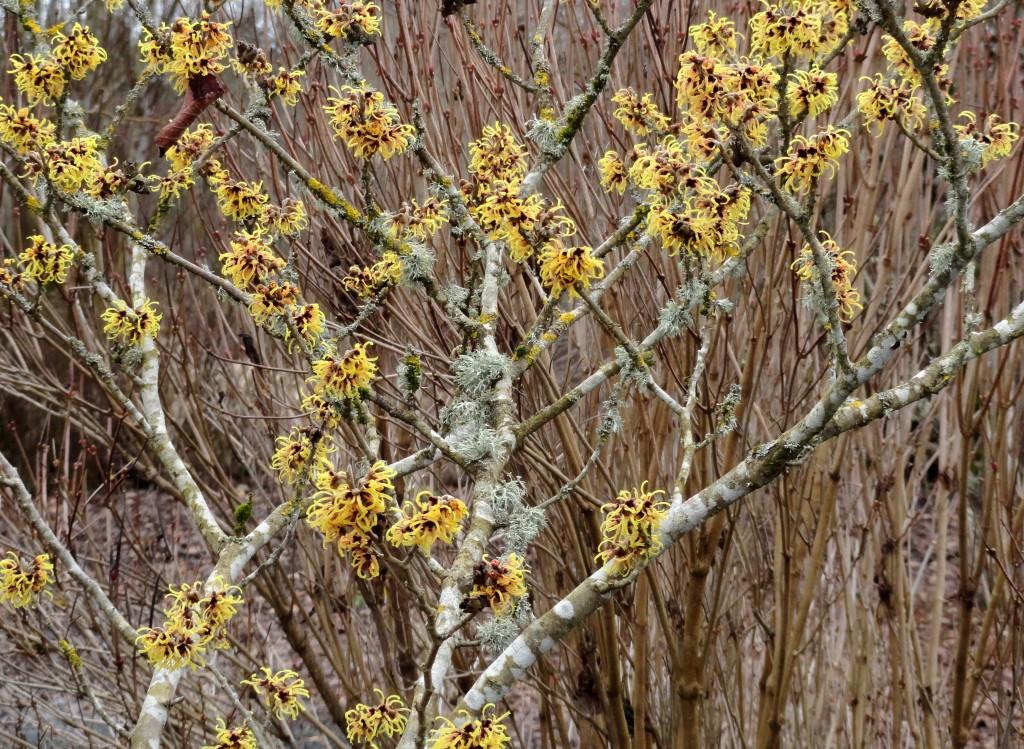 Hamamelis × intermedia 'Primavera' A