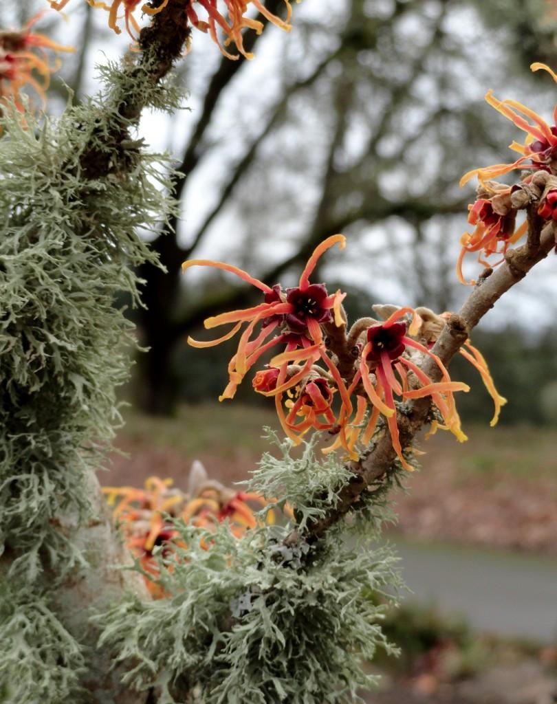 Hamamelis × intermedia 'Jelena' C