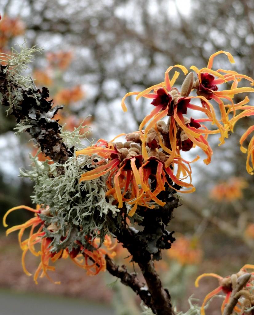 Hamamelis × intermedia 'Jelena' D