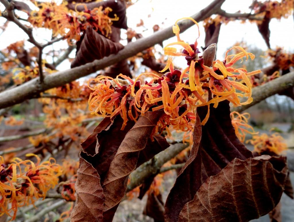 Hamamelis × intermedia 'Jelena' B