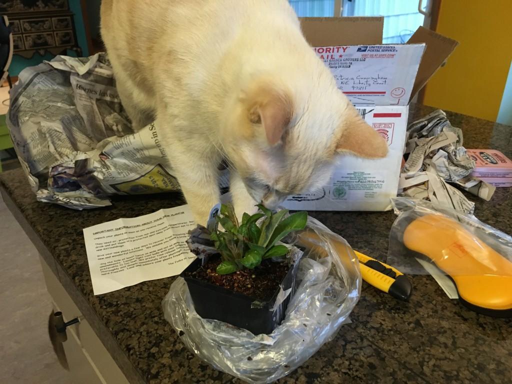 Lobelia tupa came via my plant lust order from Secret Garden Growers. Fun to ensue.