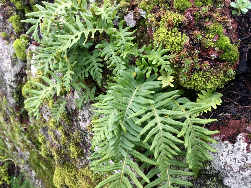 Self planted fern on moss & lichen covered rock wall.