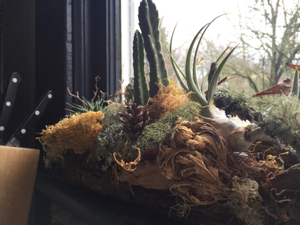 resurrection fern