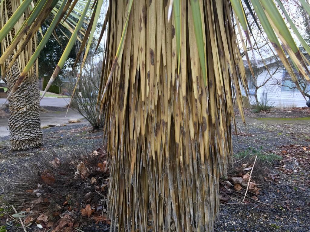 yucca rotrata untrimmed trunk