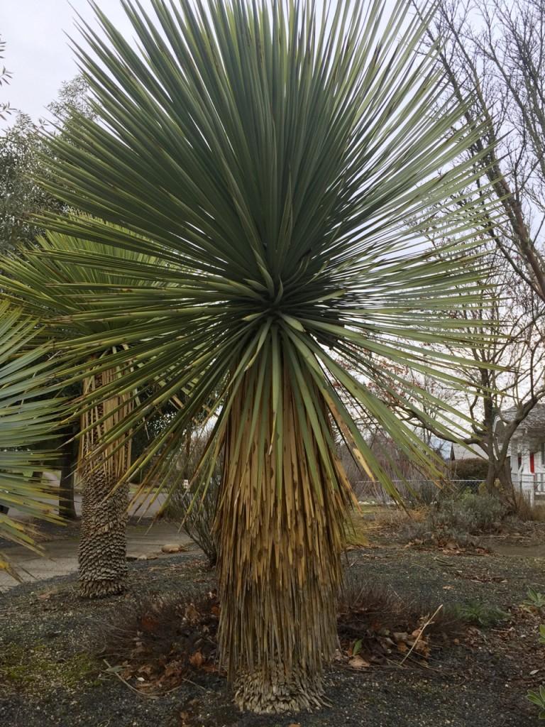 yucca rostrata untrimmed trunk