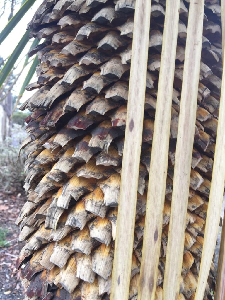 yucca rostrata trunk